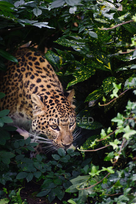 Léopard Panthera Pardus — Photo de stock