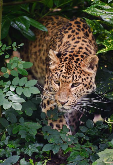 Leopardenpanthera pardus — Stockfoto