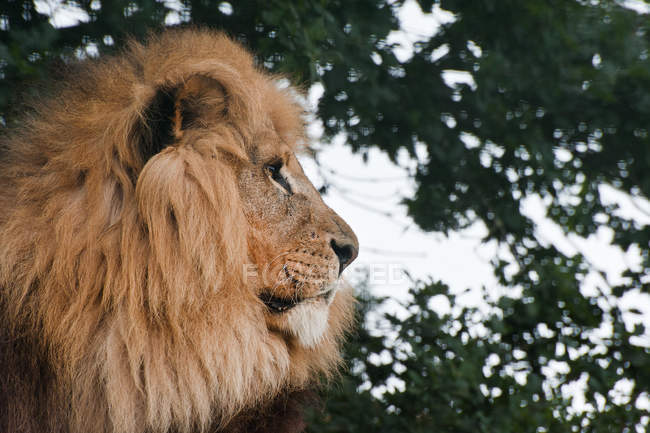 African Lion Panthera — Photo de stock