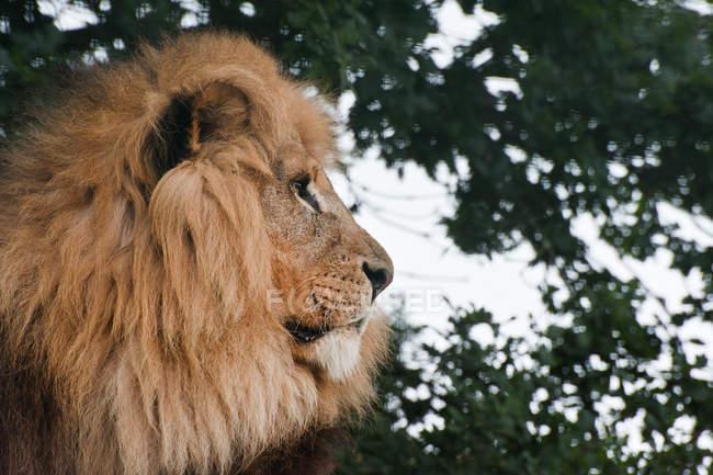 León africano Panthera - foto de stock