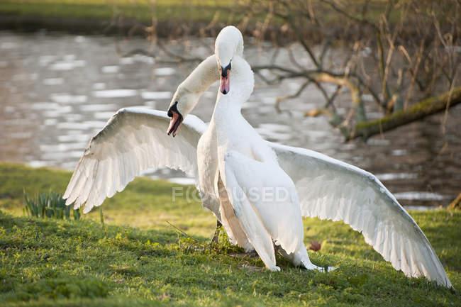 Лебедь-шипун поведение во время брачного ритуала — стоковое фото