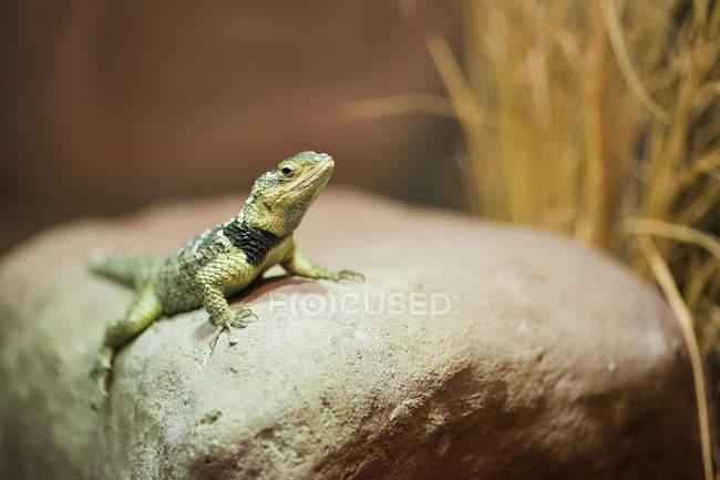 Azul Spiny lagarto na pedra — Fotografia de Stock