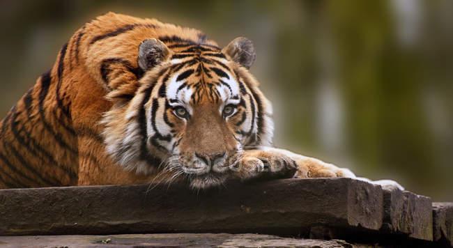 Relaxando no dia quente tigre — Fotografia de Stock