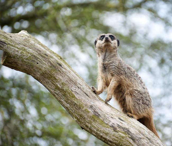 Meerkat de vigia na árvore — Fotografia de Stock