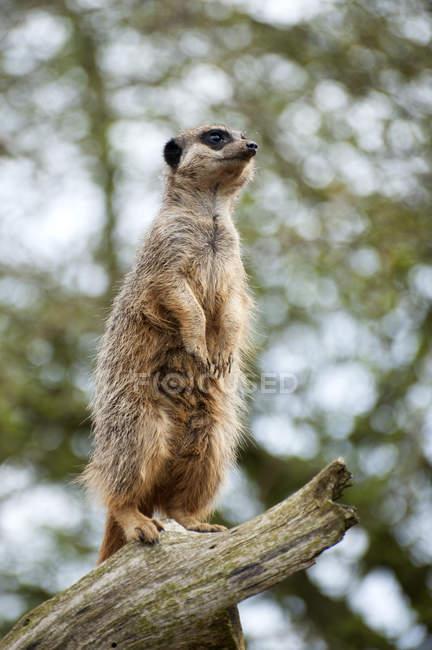 Meerkat en mirador en el árbol - foto de stock