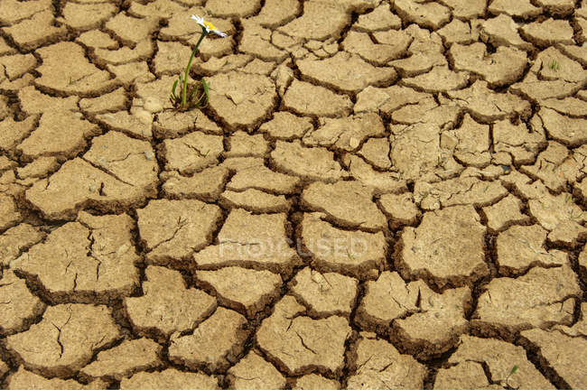 Single flower growing on dry earth — Stock Photo