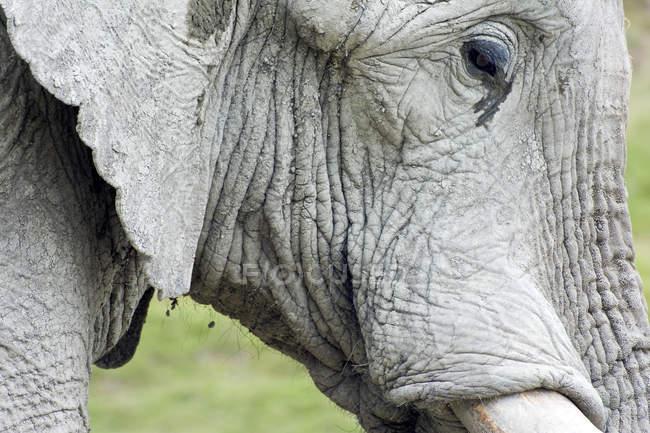 Крупный план африканского слона — стоковое фото