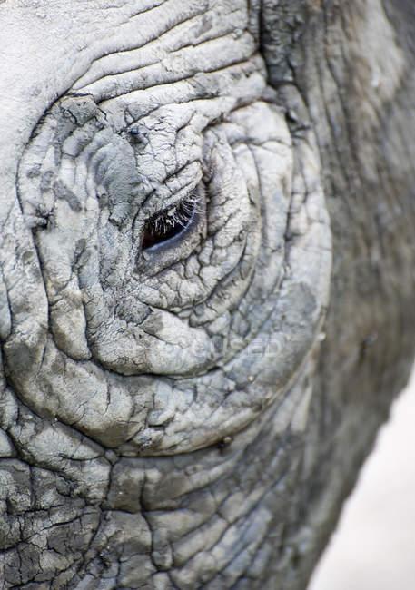 Чёрный носорог — стоковое фото