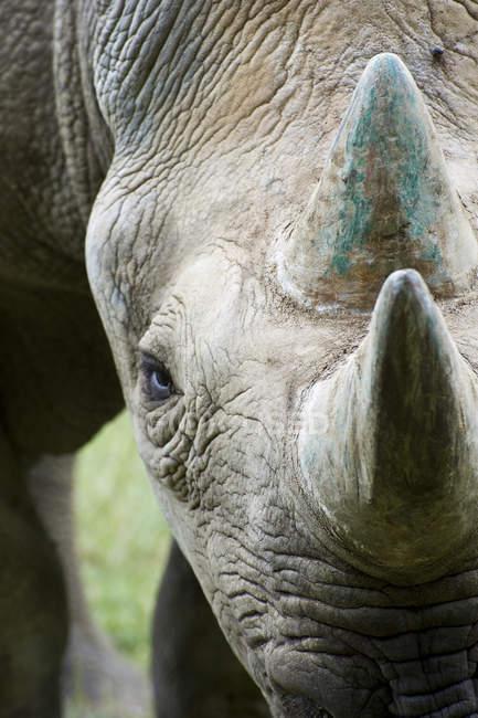Rhinocéros noir sur l'herbe verte — Photo de stock