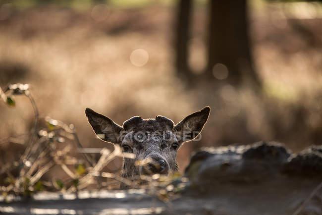 Veado vermelho cervo com chifres de novos — Fotografia de Stock