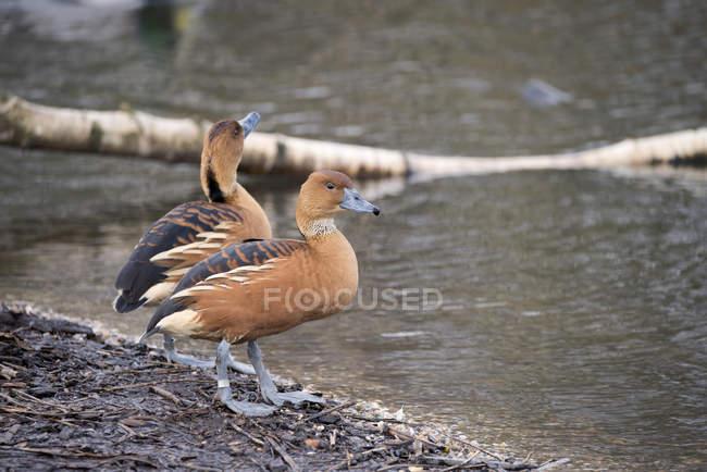 Рыжая свистящая утка в дикой природе — стоковое фото