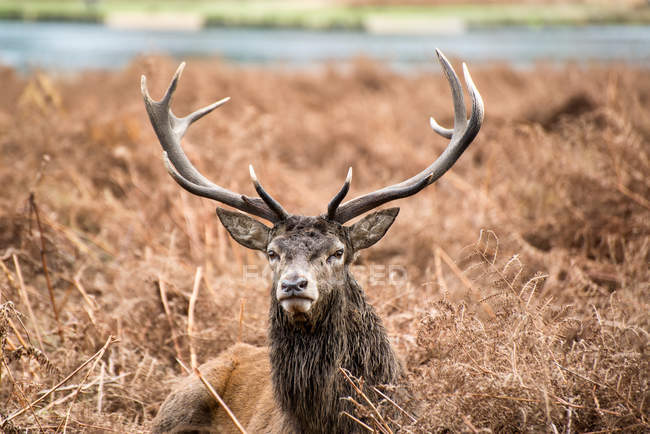 Red deer stag — Stock Photo