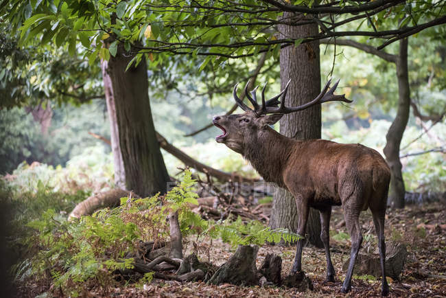 Majestic red deer stag in forest landscape — Stock Photo
