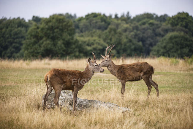 Red deer stags in forest landscape — Stock Photo