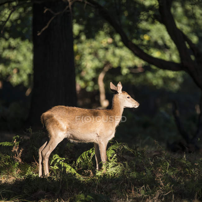Red deer in dappled sunlight forest — Stock Photo