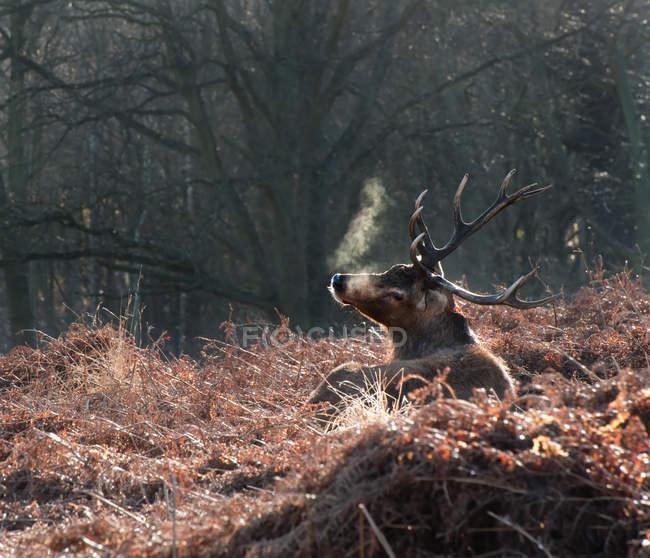 Олень благородный олень в лесной пейзаж — стоковое фото