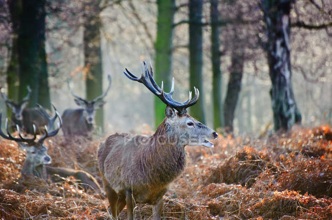 Red deer stag in forest landscape — Stock Photo