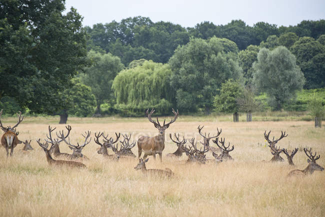 Red deer stags — Stock Photo