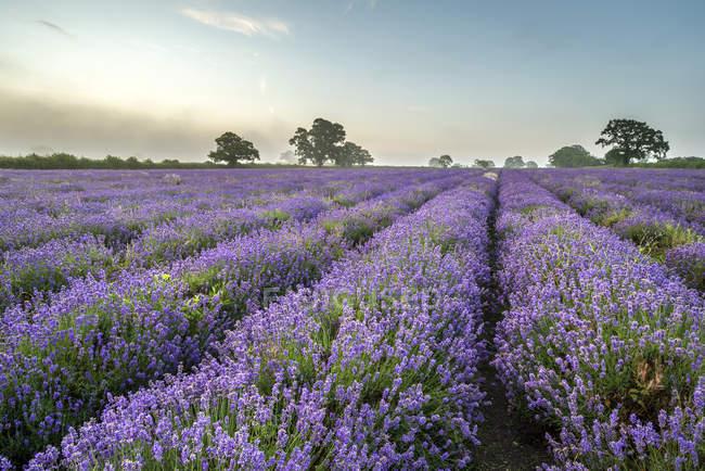 Краєвид над lavender сфера — стокове фото