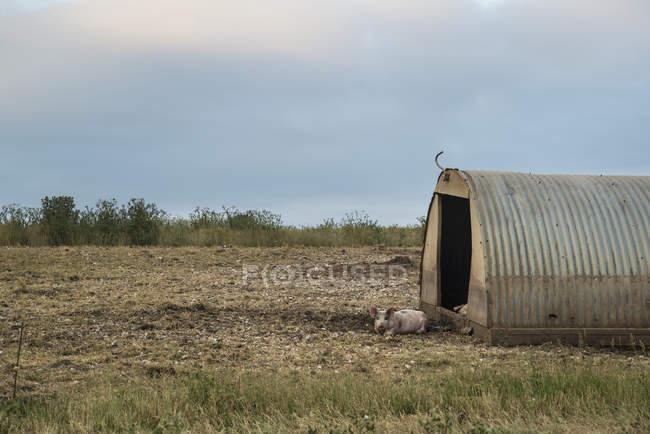 Sur South Downs l'élevage porcin — Photo de stock