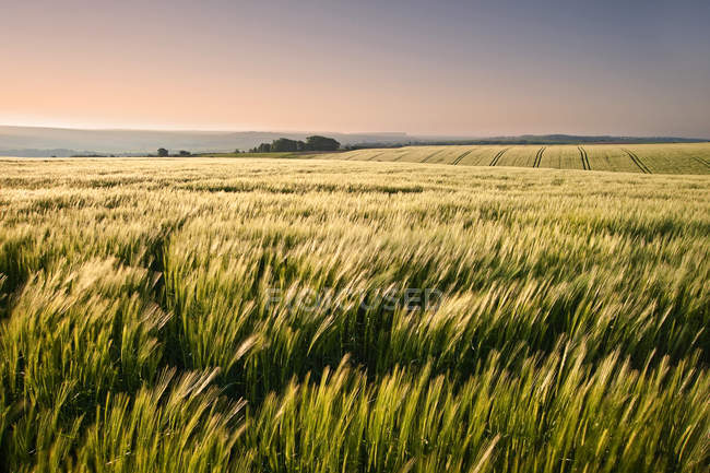 New field of wheat in countryside — Stock Photo
