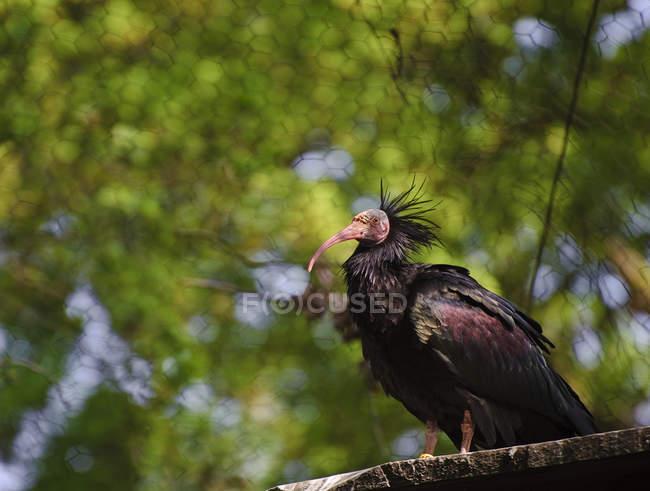 Ave ibis eremita en cautiverio - foto de stock