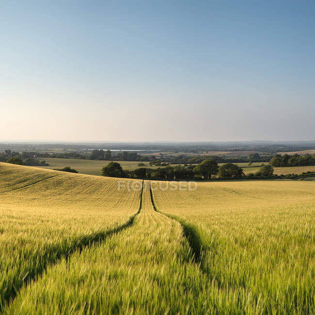 Landscape of wheat field in Summer sunset — Stock Photo