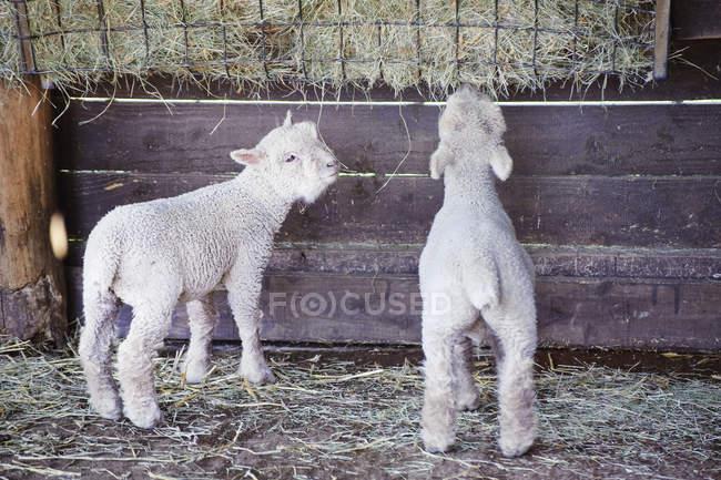 Corderos comiendo en la granja - foto de stock