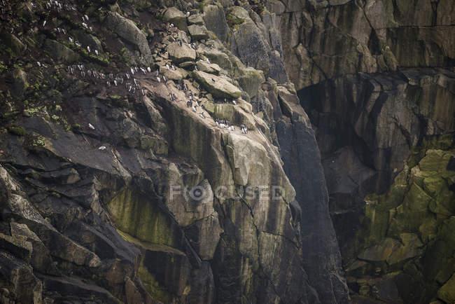 Aves de nidificação no penhasco — Fotografia de Stock