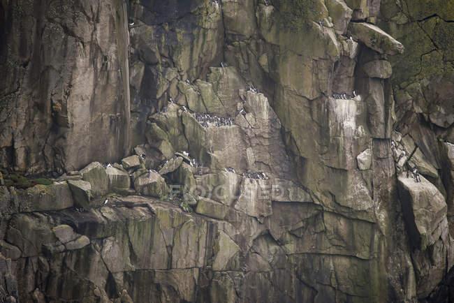 Uccelli nidificanti su scogliera — Foto stock