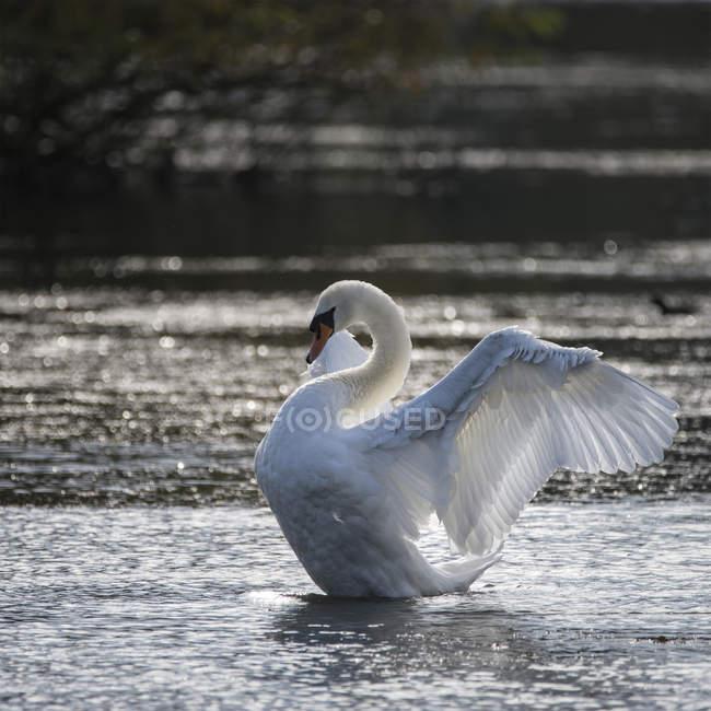Cygne étend les ailes sur le lac — Photo de stock