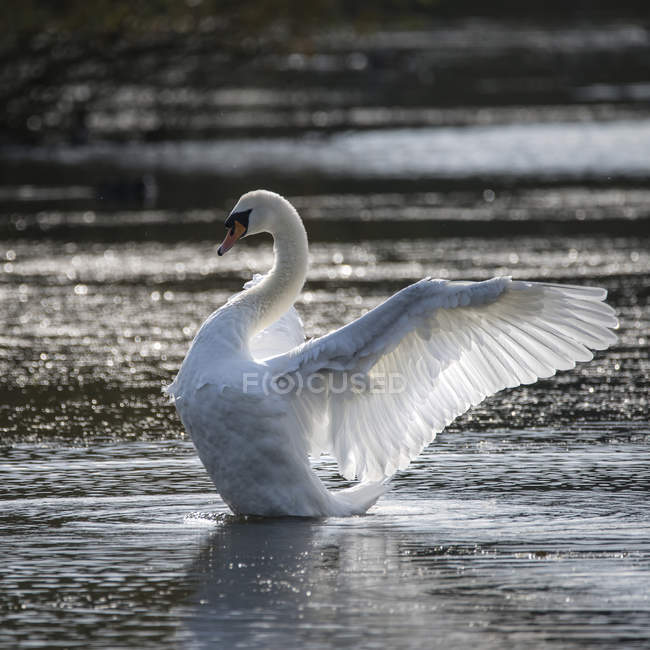 Swan stretches wings on lake — Stock Photo