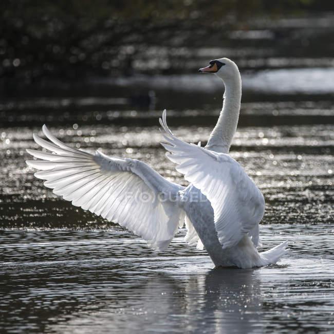 Schwan breitet Flügel auf See aus — Stockfoto