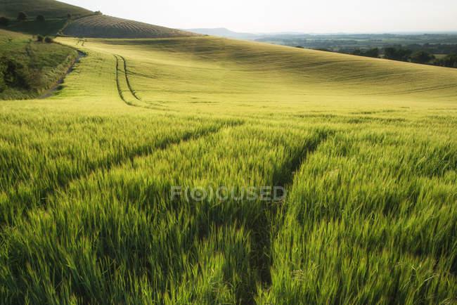 Weizenfeld in der Sommer-Sonne — Stockfoto