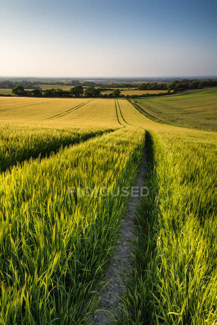Campo di grano in estate luce diurna — Foto stock