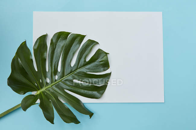 Selva tropical hoja de Monstera - foto de stock