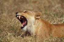 Ревіння левиця напрямку savannah — стокове фото