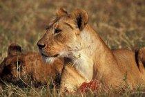 Львица, кормления, Африка — стоковое фото