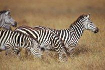 Стадо зебр в саванне — стоковое фото