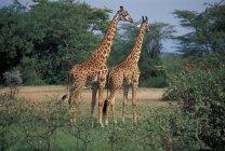 Tanzania, giraffes in wild — Stock Photo