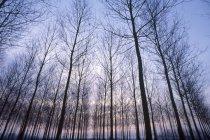 Hileras de árboles al atardecer - foto de stock