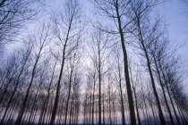 Rows of trees at sunset — Stock Photo