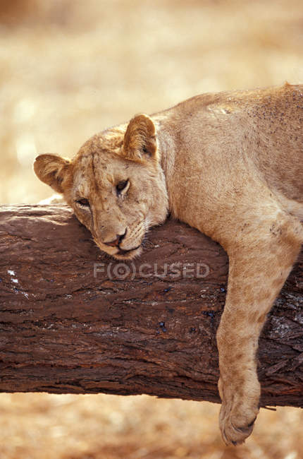 Giovane leone maschio sull'albero — Foto stock