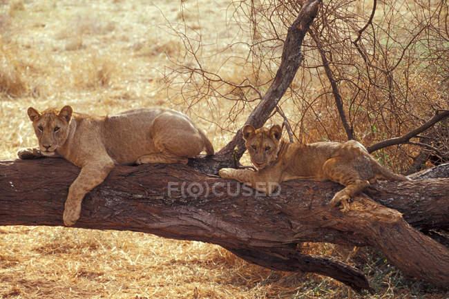 Giovani leoni maschi — Foto stock