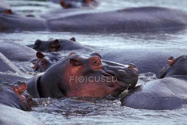 Parco nazionale del Serengeti, ippopotami nel fiume — Foto stock