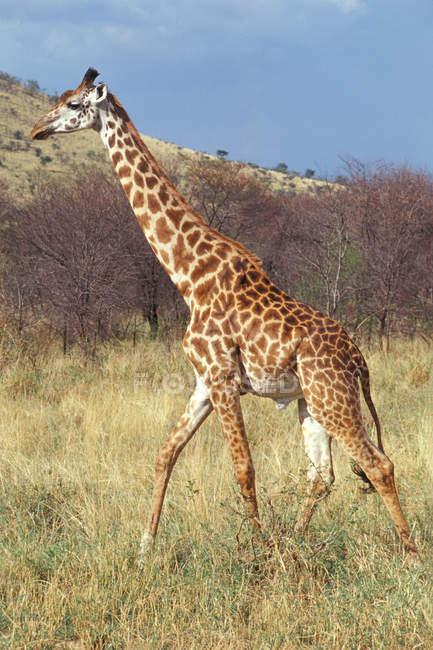 Giraffa al Parco nazionale del Serengeti — Foto stock