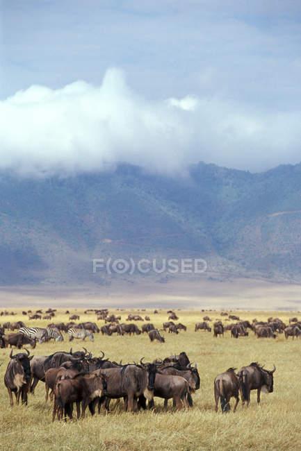 Нгоронгоро Національний парк, gnu стада — стокове фото