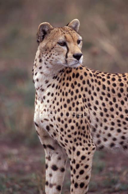 В среде обитания диких гепардов — стоковое фото