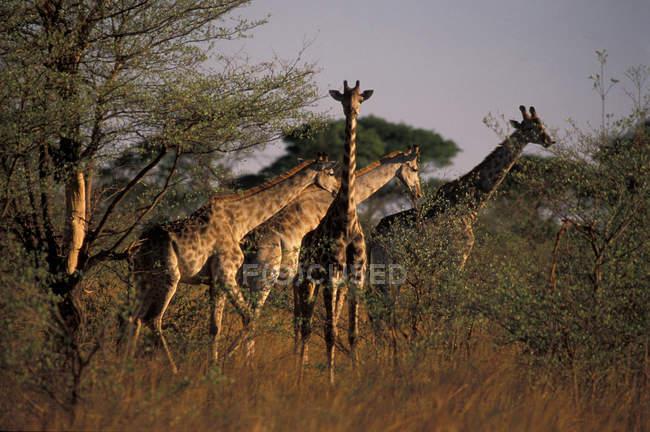 Африка, Танзанія, жирафи — стокове фото
