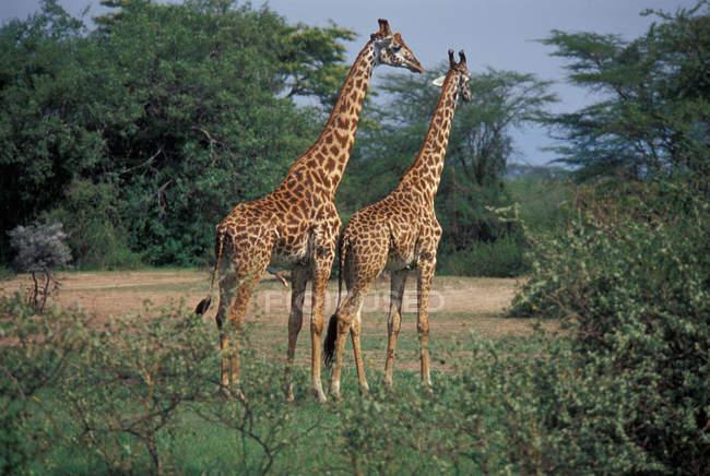 Танзанія, жирафів в дикій природі — стокове фото